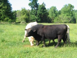 Picture: Few of our cattle